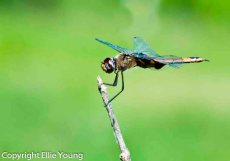 Dragonfly Perched