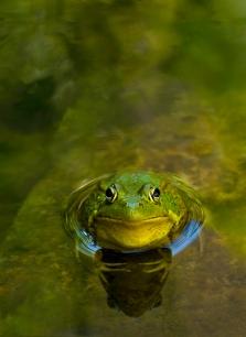 Frog 2 copy