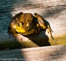 Frog on Walkway