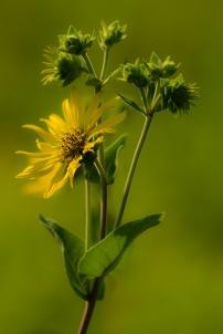 JKepshire - Yellow flower copy