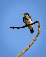 MBates - Bird with Mantis