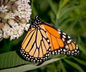 Mehl-butterfly3
