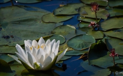 SGajda_Volo-WaterLily