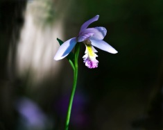 stinesk-2IMG_8430orchid