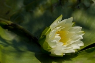 White Lily Pad Flower