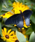 Black Butterfly on Yellow Flower copy