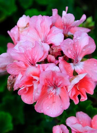 _DSC0095_5247. P.Evinger Hot Pink #06