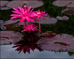 jclulow3 8-12-12 lotus reflections