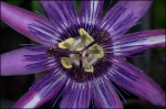 jclulow4 8-12-12 passion flower