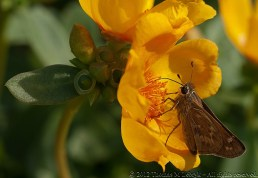 Moth (Porto Grande, Golden Yellow) - Ball Horticultural Company, MAPS 120804