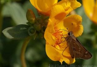 Moth (Porto Grande, Golden Yellow) - Ball Horticultural Company, MAPS 120804