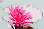 VButler-Chicago Botanic Garden#4-Water Lily