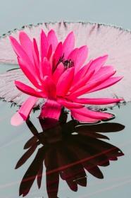 VButler-Chicago Botanic Garden#5-Lily Reflection