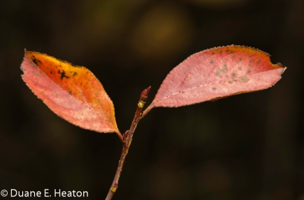 dheaton - Pair of Leaves