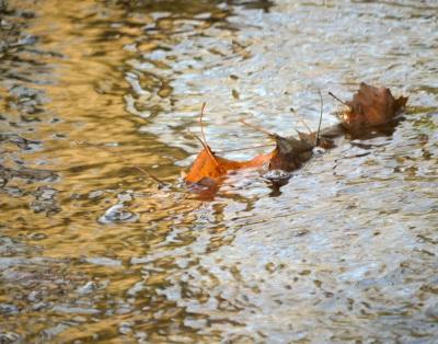cboveeBPFP leaf in creek