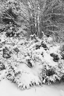 Hank Erdmann 534-01 Snow Juniper BW V x1000