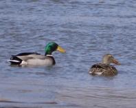 cbovee3 Ducks at Steel Dam