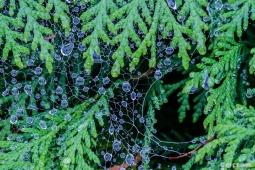 Catherine Pawlik ~ Dew on Evergreen