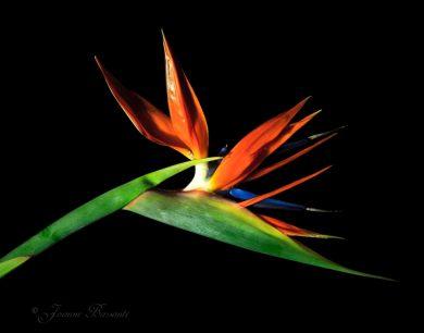 Humor-Bird of Paradise