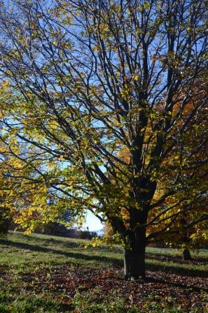 Bill Miotek ~ Late Autumn Beech Form