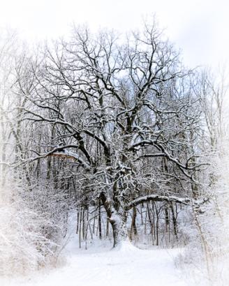 Chuck Hunnicutt ~ Snow Covered Trees