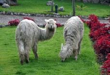 grazing+alpacas
