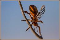Bill Pehrson Bug - Model