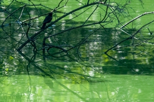 Blackbird hiding