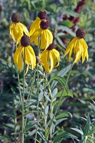 5 Yellow ConeFlower DPI MG_4204