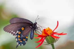 Dulcey Lima 3 Pipevine Swallowtail