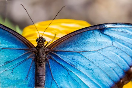 Dulcey Lima 6 The Elusive Blue Morpho