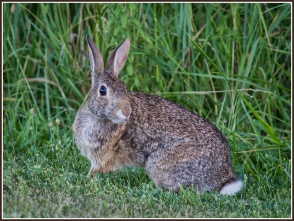 PehrsonB_4_Cottontail