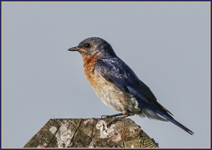PehrsonB_5_Bluebird