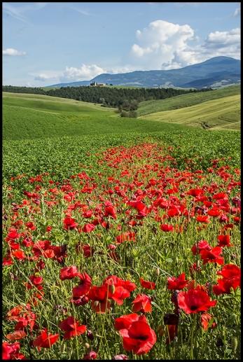 Poppies near Pienza