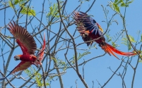 Mated Pair of Scarlet Macaws