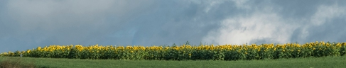 On the way up to the sunflowers, the morning light lite up the yelllow flowers.