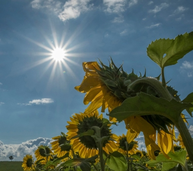 Looking behind the sunflower for the sun
