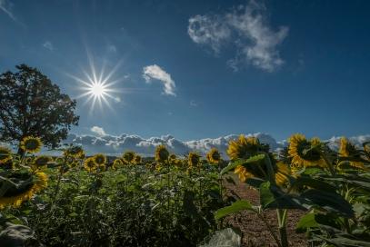 Sunflowers looking towards the sun