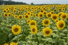 Field of yellow sunflower on Wednesday