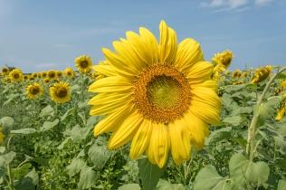 Pope Farms Sunflower