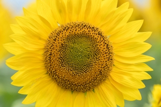 Bright yellow close up of a sunflower